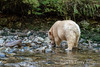 Kermode bear with claws on a salmon, Gribbell Island, north coastal British Columbia