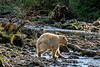 Grubby rim lit spirit bear coming out of the forest to fish for salmon, Riorden Creek, Gribbell Island, British Columbia