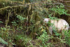 Spirit bear in the lush north temperate rain forest, Gribbell Island, British Columbia