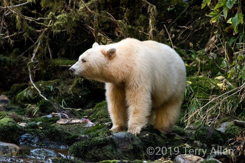 Spirit bear on a stream bank against the dark forest, Gribbell Island, coastal British Columbia