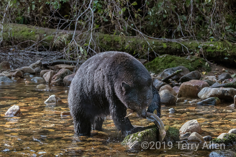 Black bear with newly caught salmon, Gribbell Island, British Columbia