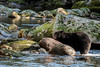 Black bear in the rocks, Riorden Creek, Gribbell Island, British Columbia