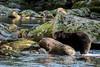 Black bear in the rocks, Riorden Creek, Gribbell Island, British Columbia