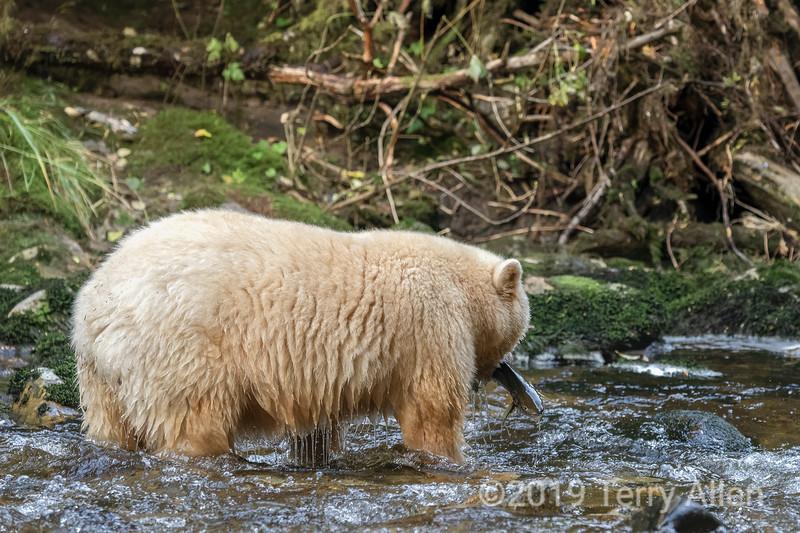 Spirit bear with fresh caught salmon, Gribbell Island, British Columbia