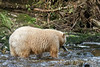 Spirit bear with fresh caught salmon, Gribbell Island, British Columbia