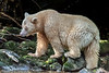 Spirit bear with salmon in a shaft of light, Gribbell Island, British Columbia