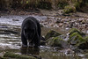 Black bear (Ursus americanus kermodei, black phase) fishing for salmon  Riorden Creek, Gribbell Island, British Columbia