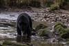 Black bear (Ursus americanus kermodei, black phase) fishing for salmon  Riorden Creek, Gribbell Island, British Columbia