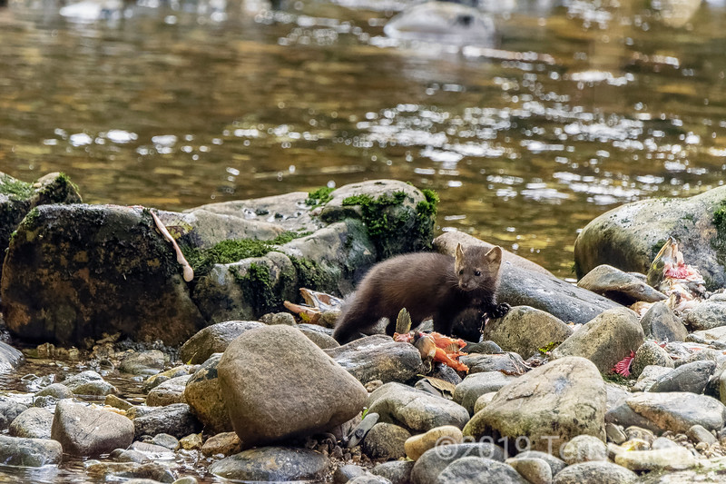 Pine marten (Martes americana) surrounded by salmon carcasses,  Gribbell Island, British Columbia