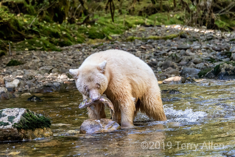 Caught it, spirit bear catches a salmon, Gribbell Island, coastal British Columbia