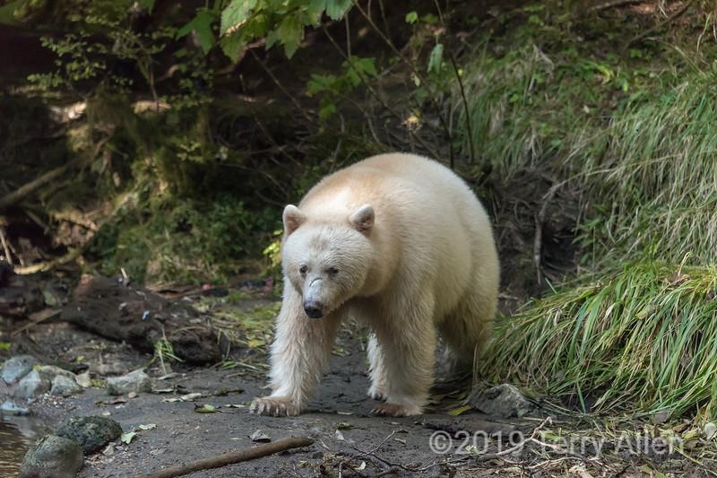 Spirit bear 'Warrior' on a salmon river on Gribbell Island Creek (Kwa), near Hartley Bay, British Columbia