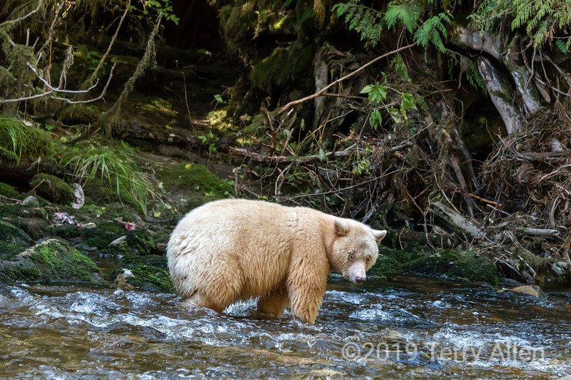 Spotting a salmon, spirit bear in a salmon stream, Gribbell Island, north coastal British Columbia