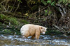 Spotting a salmon, spirit bear in a salmon stream, Gribbell Island, north coastal British Columbia
