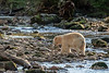 Spirit bear drags a fresh caught salmon onto the rocks to eat, Riorden Creek, Gribbell Island, British Columbia