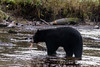 Black bear (Ursus americanus Kermodei black phase) eating a salmon  Riorden Creek, Gribbell Island, British Columbia