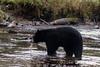Black bear (Ursus americanus Kermodei black phase) eating a salmon  Riorden Creek, Gribbell Island, British Columbia