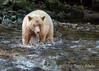 Close-call, spirit bear misses a fish in a salmon stream, Gribbell Island, north coastal British Columbia