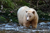 Kermode bear looking for salmon in a fast moving creek, Gribbell Island, north coastal British Columbia