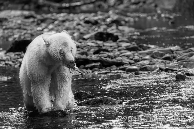 Down the hatch, spirit bear eating salmon, Gribbell Island, British Columbia