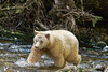 Spirit bear chasing a salmon, Gribbell Island Creek (Kwa)  Verney Pass, British Columbia
