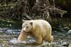 Spirit bear chasing a salmon, Gribbell Island Creek (Kwa)  Verney Pass, British Columbia