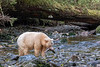 Spirit bear with just caught salmon and broad fish tapeworm, Gribbell Island, British Columbia<br /> Toward the end of summer and into fall, bears sometimes shed a type of tapeworm, commonly called the broad fish tapeworm Diphyllobothrium latum. As this photo shows it can sometimes be seen trailing behind them. Grizzly bears can become infected by the tapeworm from eating raw salmon. The physical effect of bears harbouring tapeworm parasites is insignificant to the bear's health.
