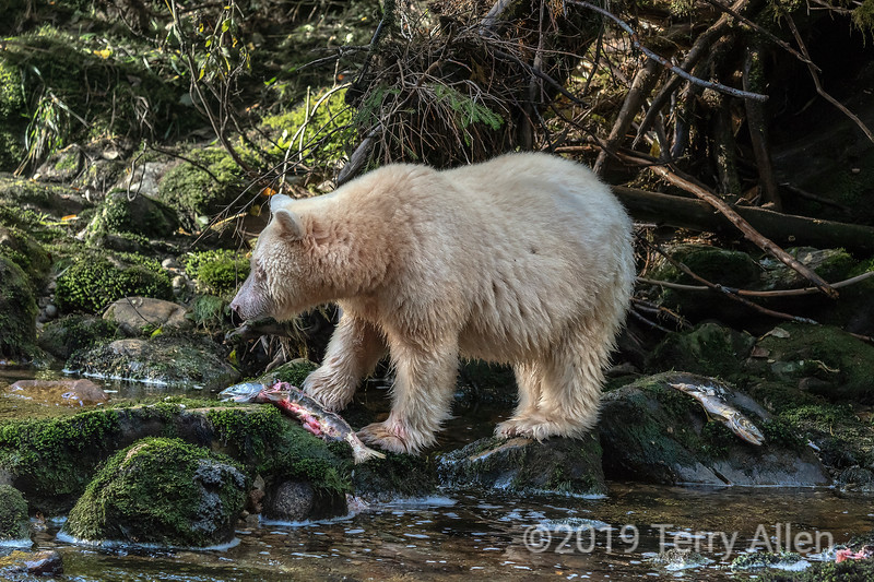 Spirit bear with salmon carcasses, Gribbell Island, British Columbia