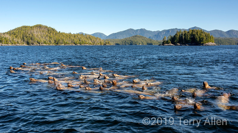 Raft of Steller's sea lions swims together keeping an eye on our boat, near Campania Island, Briltish Columbia