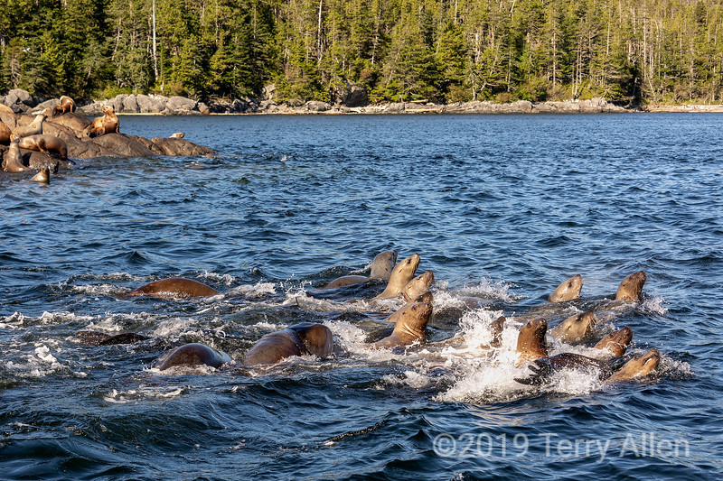 Curious adolescent Steller's sea lions checking out our boat, near Campania Island, British Columbia