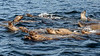 Raft of curious young Steller's sea lions, near Campania Island, British Columbia