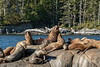 Steller's sea lion colony with large beach master, near Campania Island, British Columbia