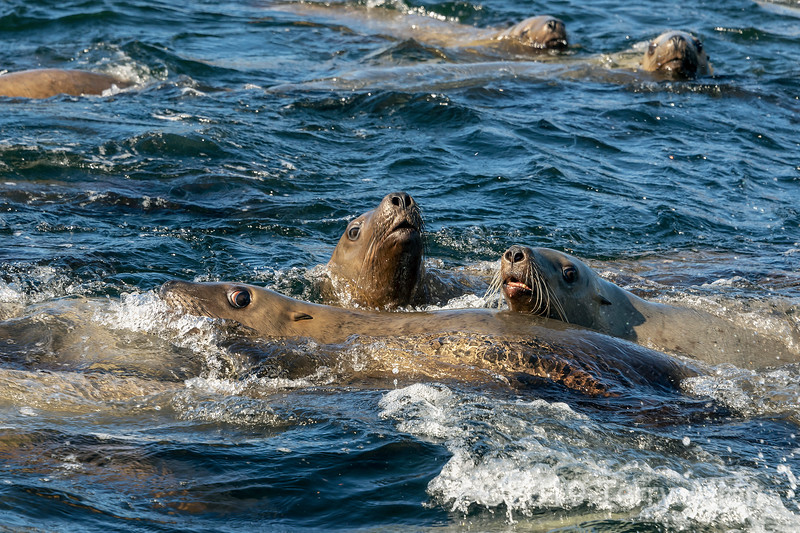 Curious young Steller's sea lions inspect a boat, near Campania Island, British Columbia
