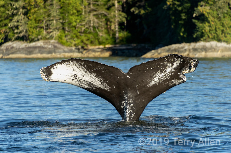 Humpback whale tail diving close inshore, Whale Channel, British Colulmbia