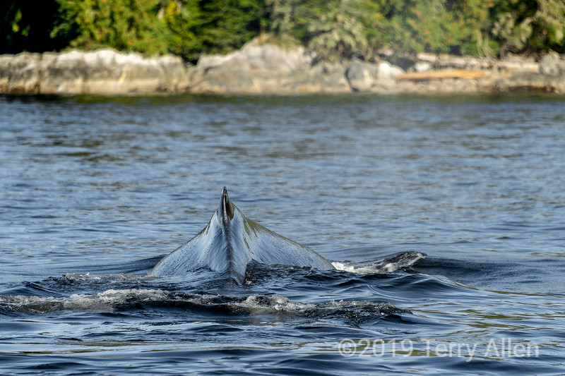 Close-up of dorsal fin and hump of a humpback whale, Whale Channel, British Columbia