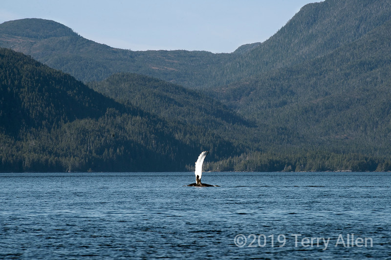 The flipper of a humback whale looks like a distant sailboat, Whale Channel, British Columbia