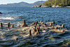 Young Steller's sea lions excited by our boat, near Campania Island, British Columbia