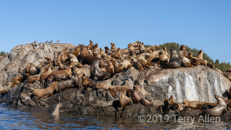Steller sea lion looking for room on the rock, near Campania Island, British Columbia