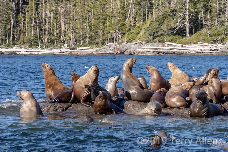 Stellar's sea lions basking on sunlit rocks, near Campania Island, British Columbia