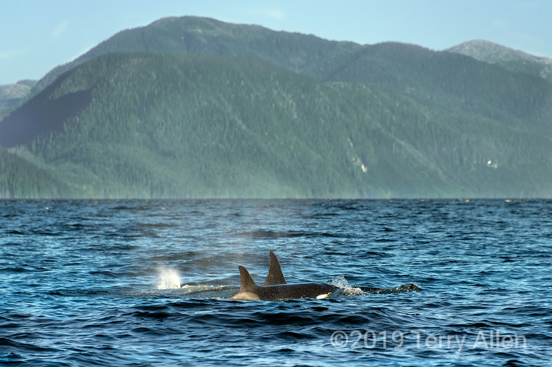 Pair of killer whales in Whale Channel, south of Hartley Bay, British Columbia