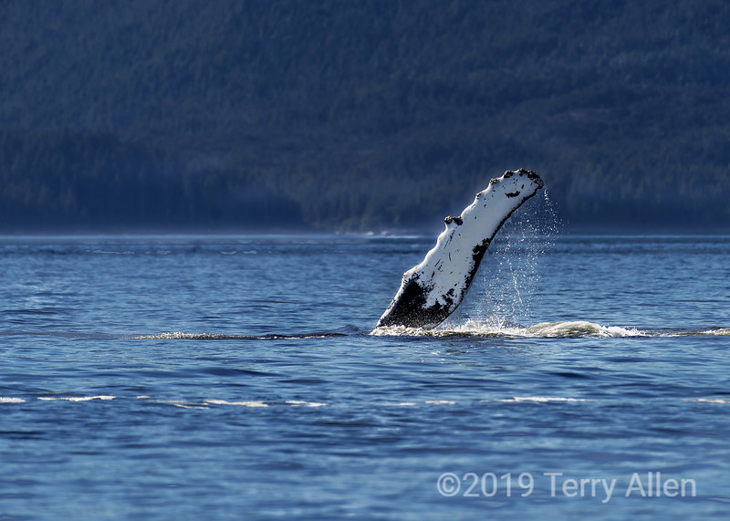 Humpback whale flipper with barnacles, Whale Channel, Britilsh Columbia