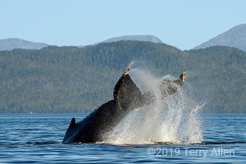 Splashdown, humbpack whale high tailing it, Whale Channel, British Columbia