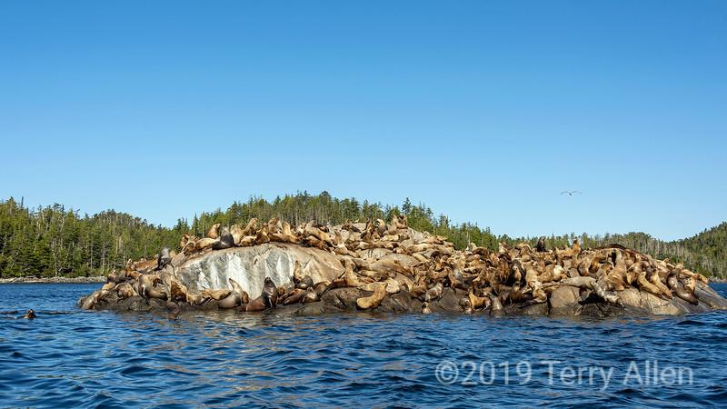Large haulout of Steller's sea lions near Campania Island, British Columbia
