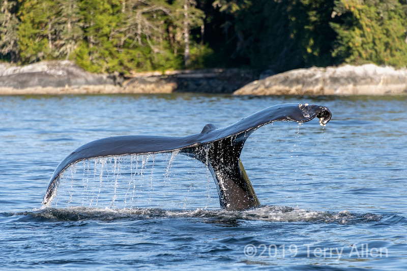 Humpback whale diving close inshore, Whale Channel, British Colulmbia