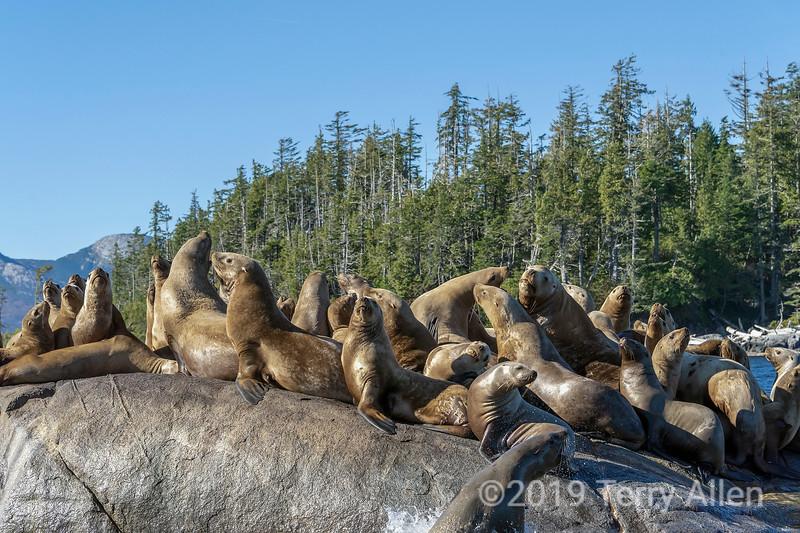 Steller sea lion (Eumetopias jubatus) haulout, Sea Lion Rocks,near Campania Island, British Columbia