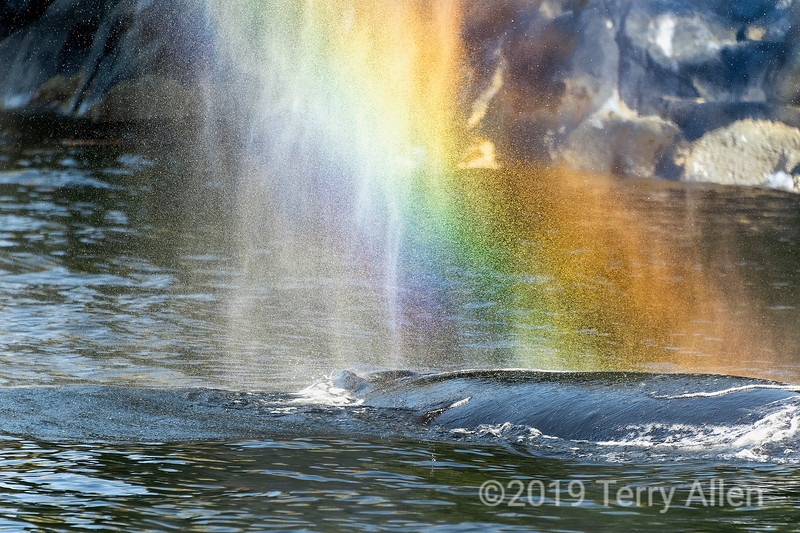 Rainbow spout, humpback whale, Whale Channel, British Columbia