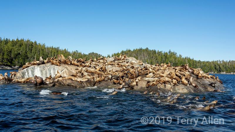 Large colony of Steller's sea lions on the rocks, near Campania Island, British Columbia