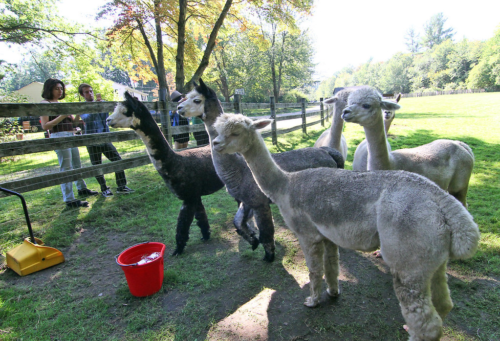 . A herd of female alpaca\'s at the Harvard Alpaca Ranch. SUN Photo by David H. Brow
