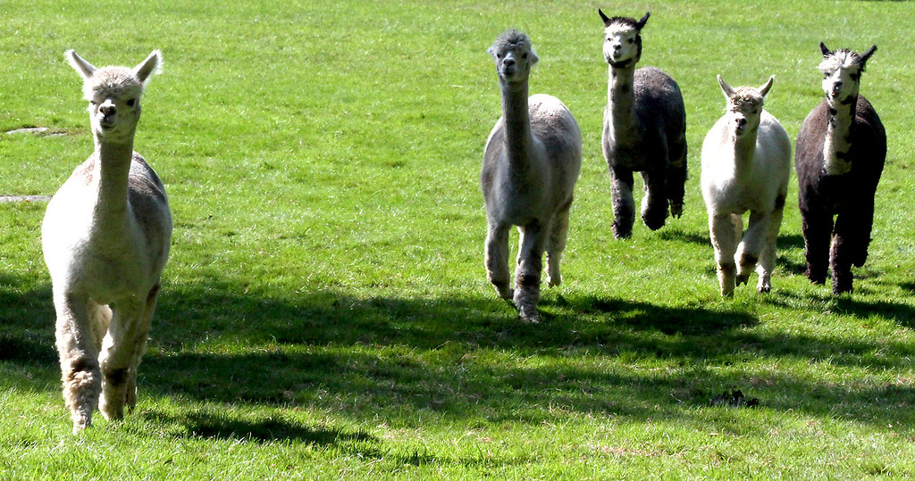 . A herd of Alpaca\'s head over to check out a dog at the Harvard Alpaca Ranch. SUN Photo by David H. Brow