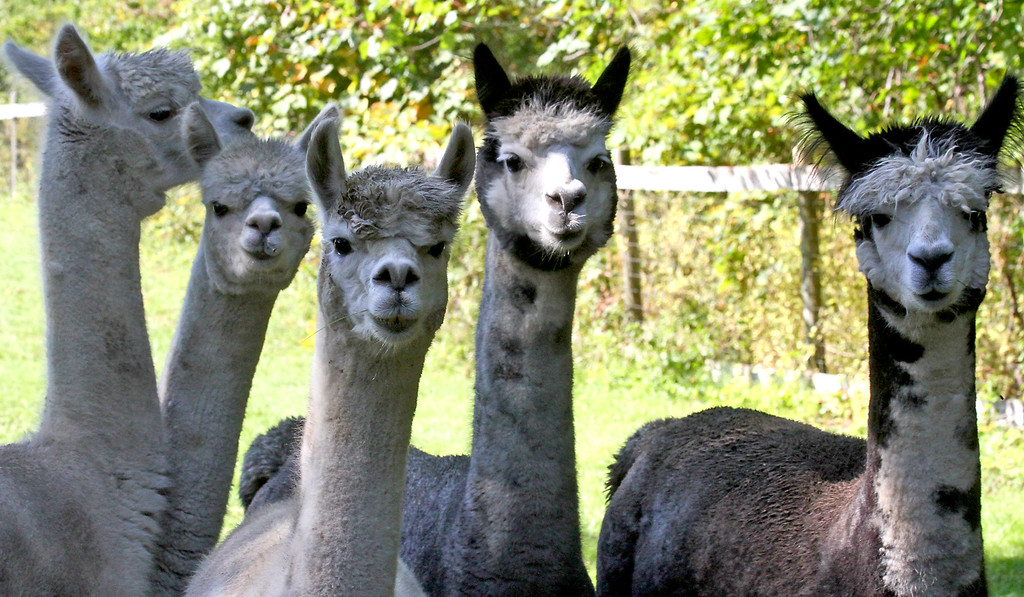 . A herd of Alpaca\'s at the Harvard Alpaca Ranch. SUN Photo by David H. Brow