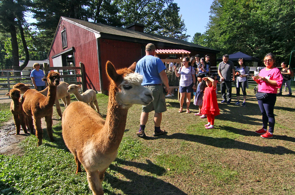 . Young Alpaca\'s and their mothers keep en eye on the human invaders as farm owner Matthew Varrell gives a tour of the Harvard farm for their first year celebration. SUN Photo by David H. Brow